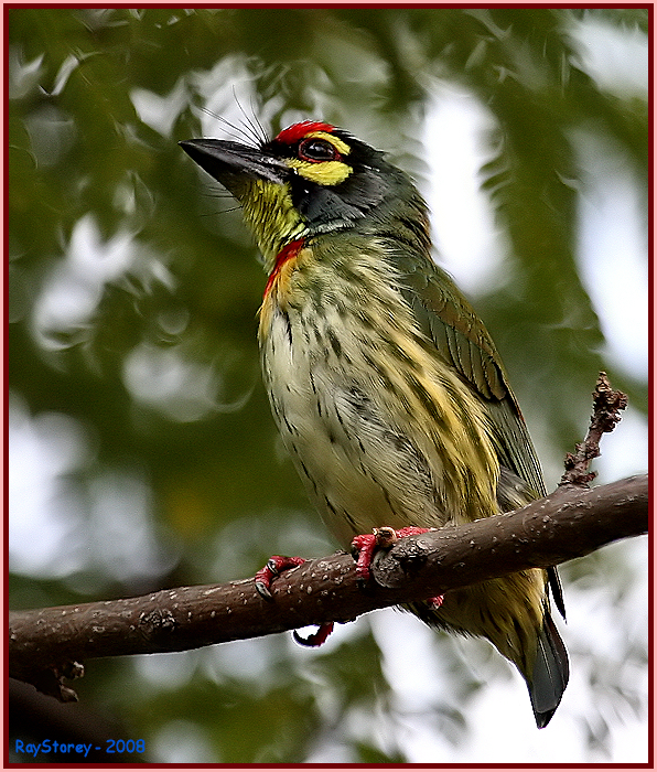 Whiskered Barbet