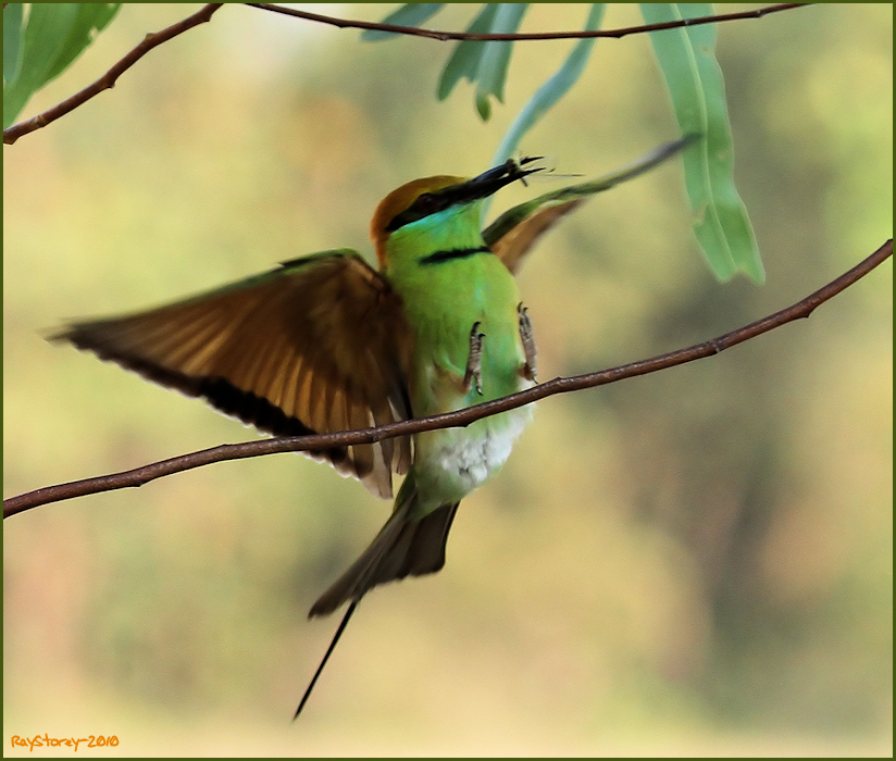 photoblog image Little Green Bee-Eater