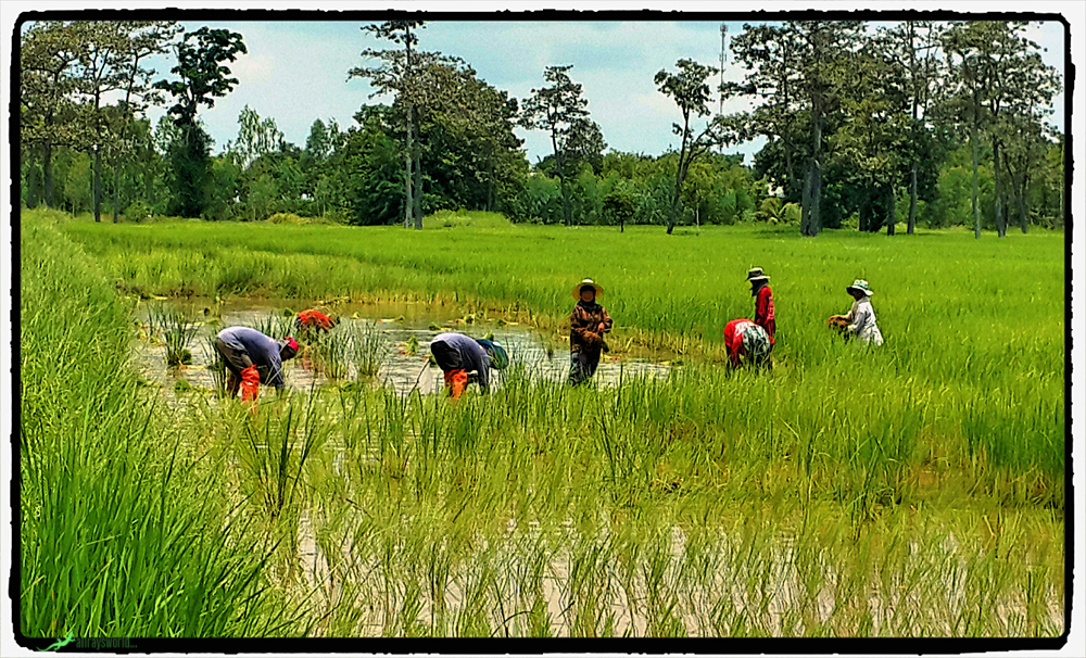photoblog image Patching the rice crop