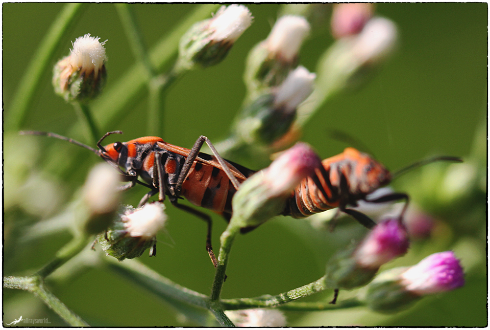 photoblog image Love on the Milkweed