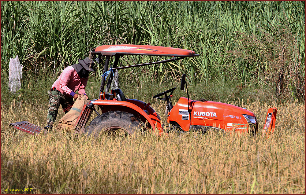 photoblog image The Rice Harvest #4