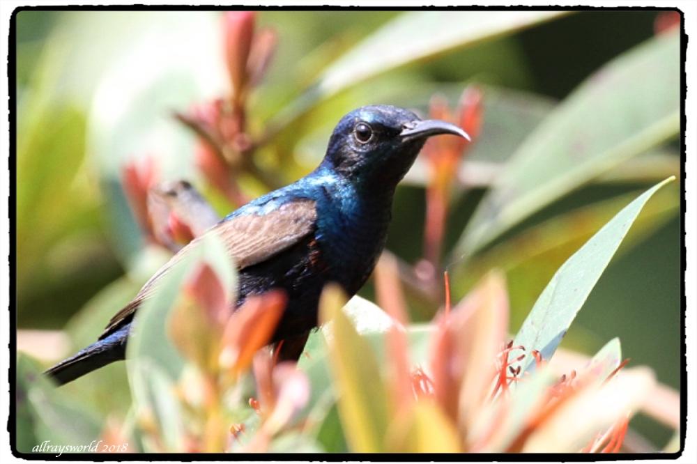 photoblog image Sunbirds #2